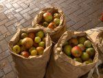 Kostenloses Obstpflücken auf Hönischer Obstwiese