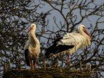 NABU-Weißstorchbilanz 2021: Bestandsentwicklung weiter positiv. Erneuter Anstieg bei den Nestpaaren / Gleichstand bei den flüggen Jungen